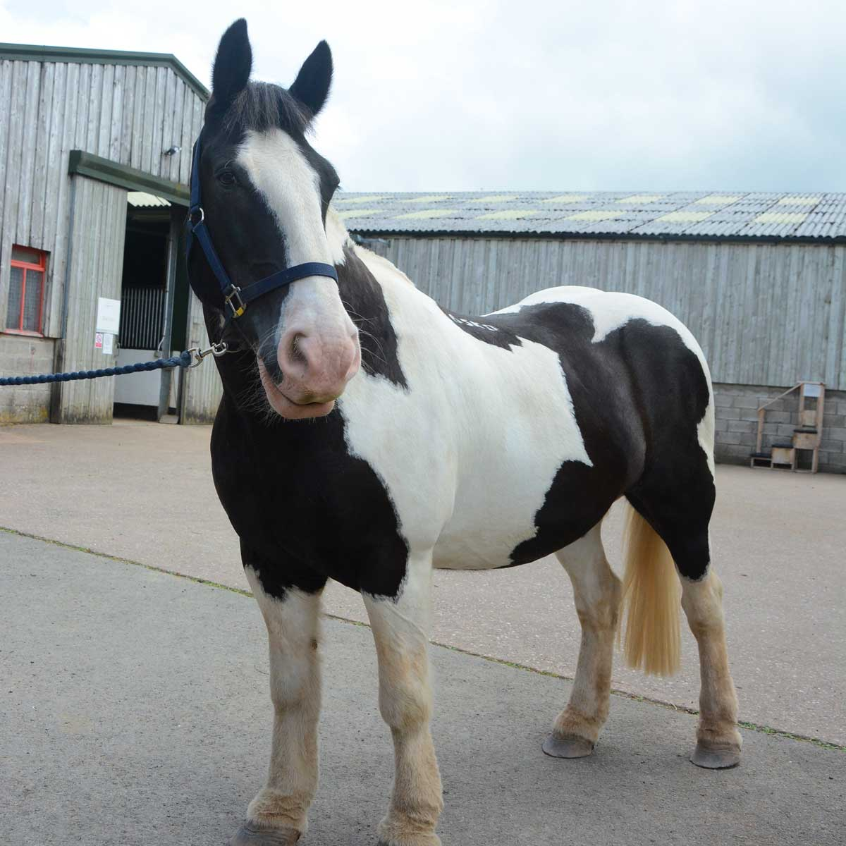 Dark brown and white horse standing up outside stables buildings