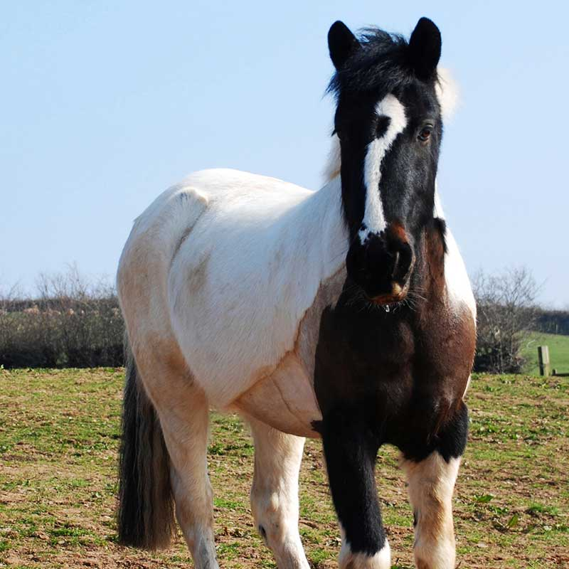 White and brown horse standing in a sunny field with blue sky looking at camera