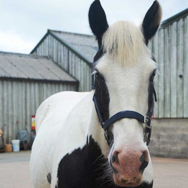 Big white and black horse outside stables looking at the camera