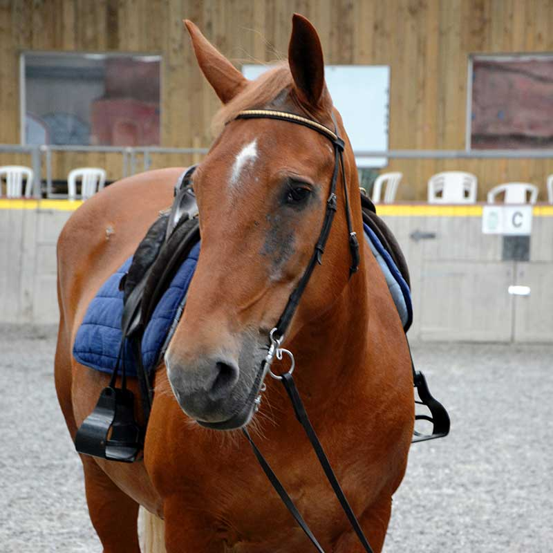 Rusty red horse with saddle facing the camera