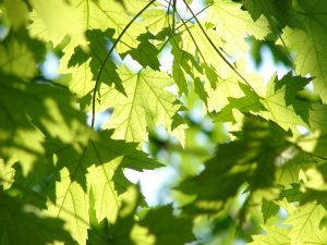 Green leaves with sun shining through.