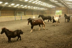 Horses playing in the indoor arena at Calvert Trust Exmoor.