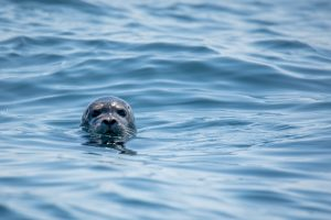 A seal poking its head out of the sea.