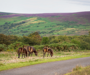 Three Exmoor ponies grazing beside a road with moors in the background