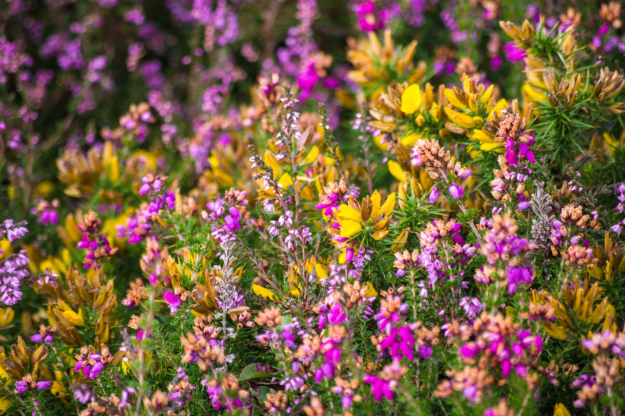 Purple and yellow flowers in an Exmoor hedgerow