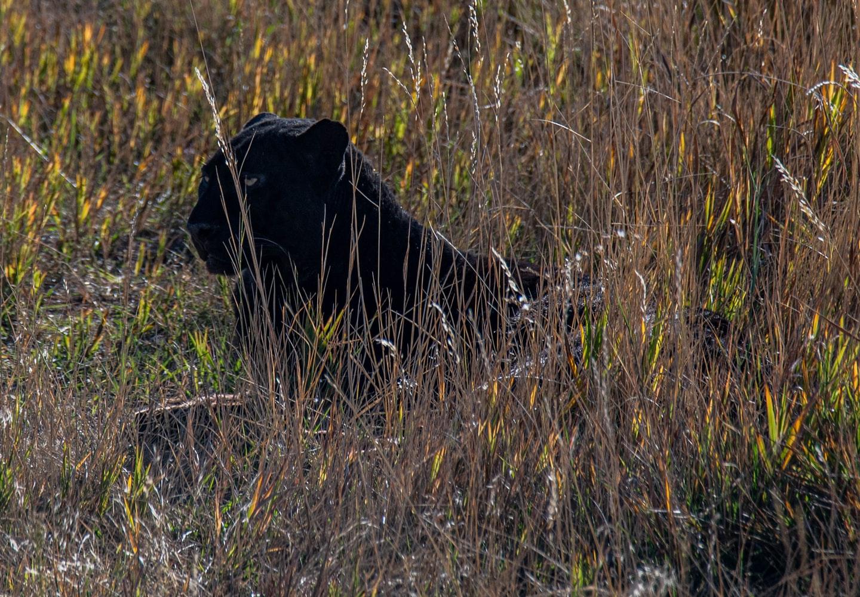A black panther hidden in long grass