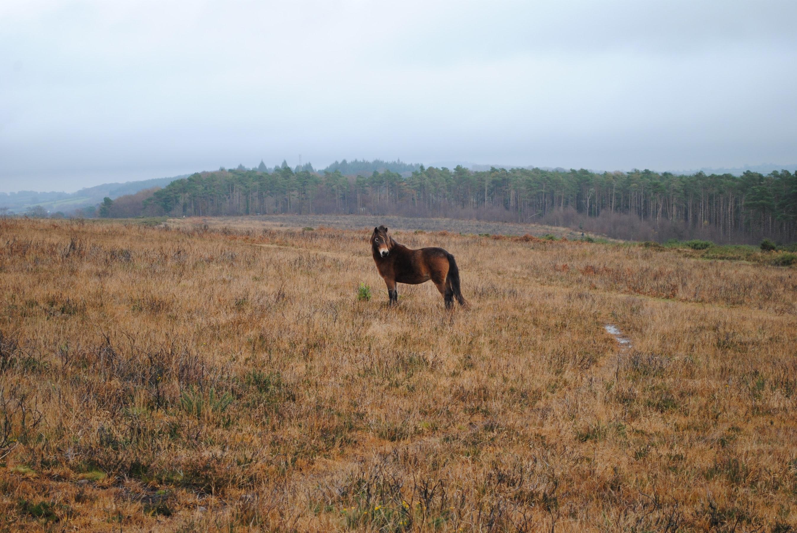 A brown Exmoor pony