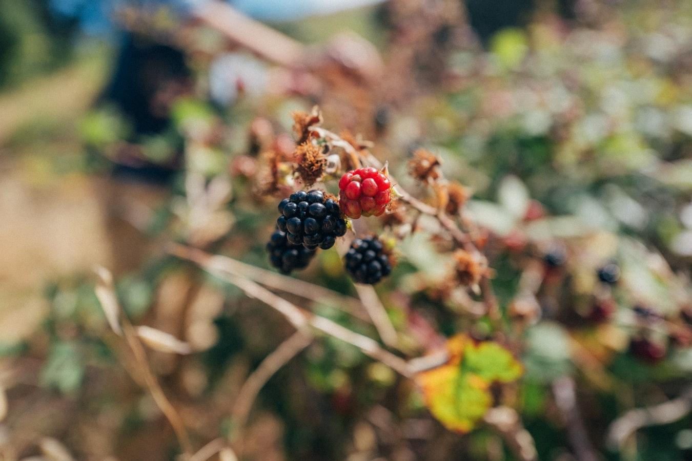 Blackberries in a woodland