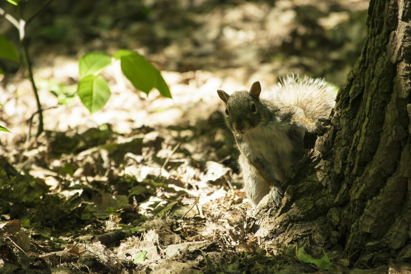 A squirrel on the woodland floor
